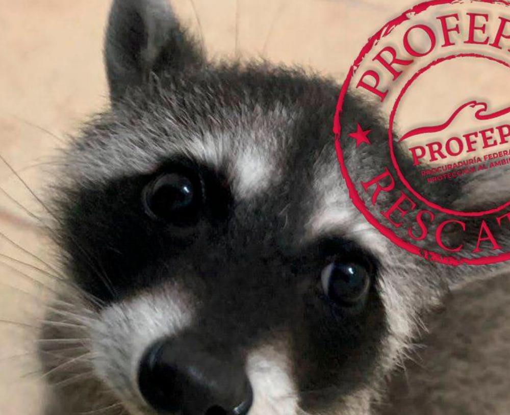 La Profepa en Querétaro resguardó distintas especiales de animales